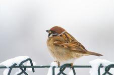 Free Eurasian Tree Sparrow (aka Passer Montanus) Stock Photo - 3842320