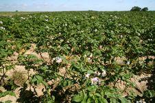 Potatoes Bush Stock Images
