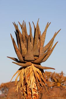 Free Agave Plant Royalty Free Stock Images - 3846219