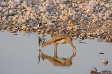Free Springbok In A Waterhole Stock Photo - 3846240