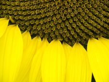 Sunflower Close-up Stock Image