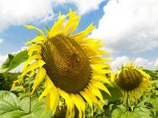 Free Sunflowers Royalty Free Stock Image - 3846786