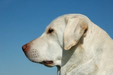 Free Portrait Of Labrador Stock Images - 3847014