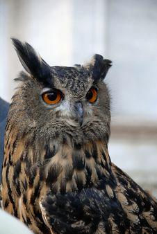 Free Eagle-owl Royalty Free Stock Image - 3848516