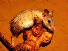 Free Mouse At Rest Stock Photography - 3848742