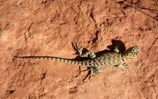 Free Lizard On The Red Rock Royalty Free Stock Image - 3848826