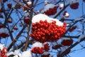 Free Mountain Ash Berries Royalty Free Stock Photo - 3859555