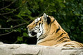 Free Bengal Tiger Resting Royalty Free Stock Images - 3859579