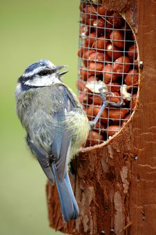 Free BLUE TIT ON FEEDER Stock Image - 3851501