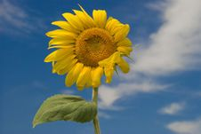 Free Sunflower Royalty Free Stock Photography - 3851717