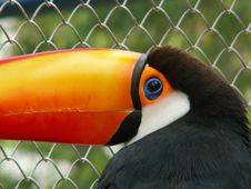 Free Toucan Stock Image - 3852311