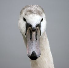 Free Cygnet Royalty Free Stock Photo - 3852695