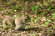 Free Gray Squirrel Stock Images - 3852744