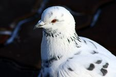 Free Portrait Of The Pigeon Royalty Free Stock Photography - 3852807
