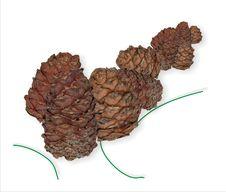 Free Cedar Nutlets Stock Images - 3853044