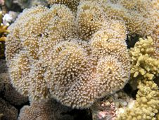 Red Sea Coral Reef, Mushroom S Royalty Free Stock Photo