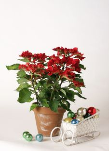 Free Poinsettia Royalty Free Stock Photo - 3853475
