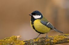 Free Great Tit (aka Parus Major) On Brown Background Stock Images - 3855854