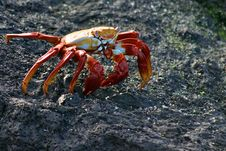Free Sally Lightfoot Crab Royalty Free Stock Photography - 3856257