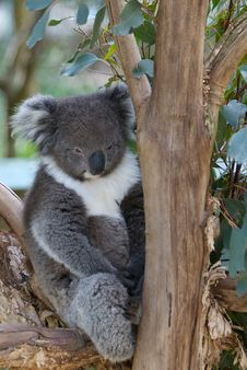 Free Sleepy Koala Bear In Tree Royalty Free Stock Photos - 3856258