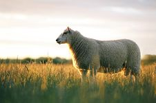 Free Sheep In Evening Light. Stock Images - 3856494