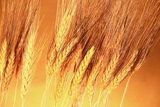 Free Golden Grain Background Royalty Free Stock Photo - 3856945