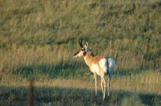 Male Pronghorn Stock Photo