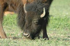 Free American Bison Royalty Free Stock Image - 3858316