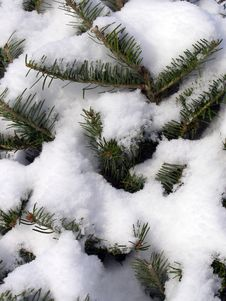 Free Snowy Pine Background Royalty Free Stock Photo - 3859455