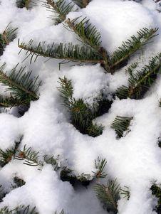 Free Snowy Pine Background Royalty Free Stock Photo - 3859455