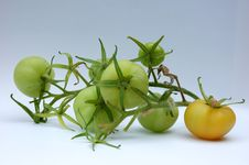 Free Green Tomatoes On The Vine Royalty Free Stock Photography - 3859477