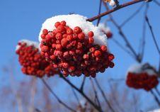 Free Mountain Ash Berries Stock Photo - 3859500