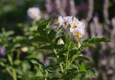 Free Blooming Potatoes Stock Image - 38580081
