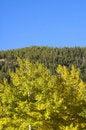 Free Evergreen, Aspen And Blue Sky Stock Photos - 3865913