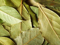Free Macro Bay Leaves Royalty Free Stock Images - 3868189