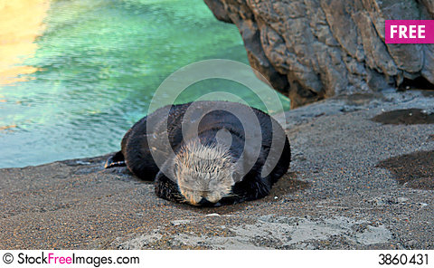 Free Sleeping Otter Stock Image - 3860431