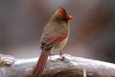 Free Cardinal In The Cold Stock Photos - 3860103