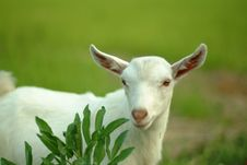 Free Goat Of Suzhou In China Royalty Free Stock Photography - 3860507