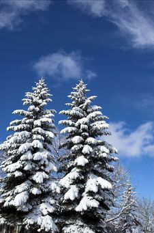 Free Snow Covered Trees Royalty Free Stock Image - 3860566