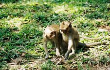 Monkeys - Cambodia Royalty Free Stock Photos