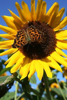 Free Sunflower With Butterfly Royalty Free Stock Images - 3861089