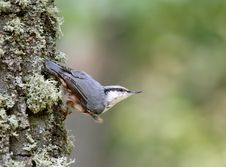 Free Nuthatch ( Sitta Europaea ) Royalty Free Stock Images - 3862089