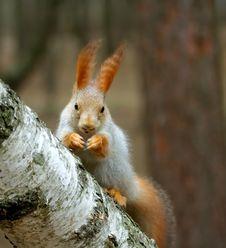 Free Squirrel ( Sciurus ) Royalty Free Stock Photography - 3862117