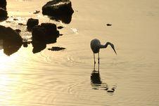 Free Egret Bird Royalty Free Stock Photo - 3862675