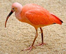 Free Scarlet Ibis 3 Stock Photos - 3864353