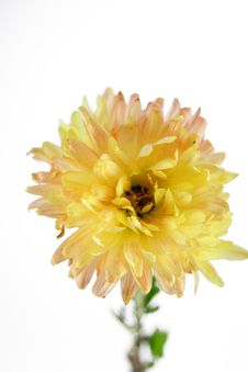 Free Yellow Aster Stock Photos - 3864413