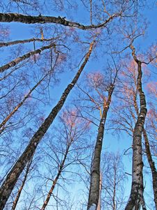 Winter Birches In Sunset Light Stock Images