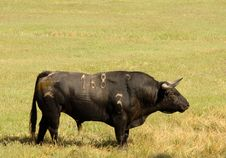 Free Real Black Bull Of Bullfight Royalty Free Stock Image - 3864946