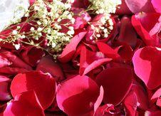 Roses Petals Stock Photos