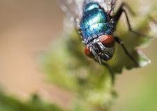 Free Bluebottle Fly On A Leaf Royalty Free Stock Images - 3865609